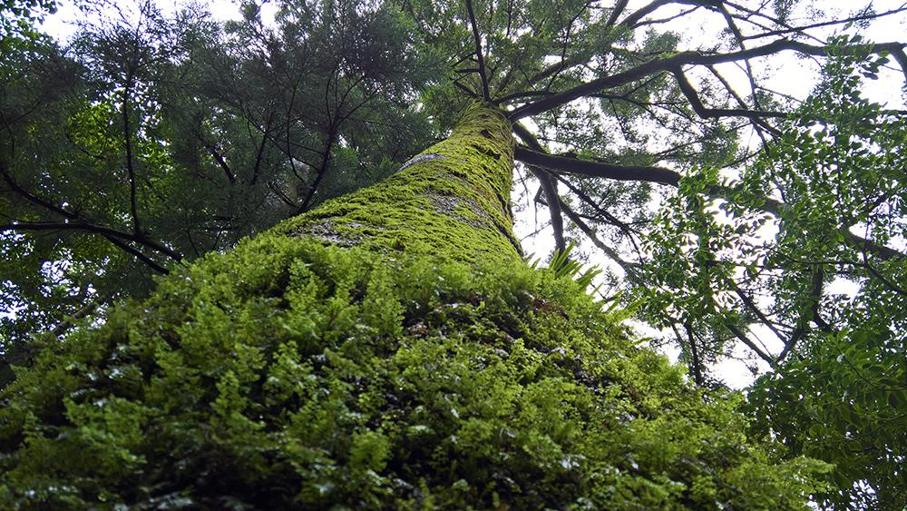 「屋久島」苔に覆われた樹木